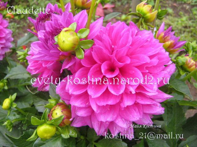 Георгины Клаудетт (Claudette) - энциклопедия садовых