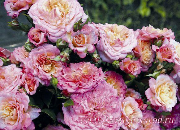 фото розы апачи