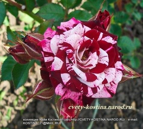Купить спрей розы в москве