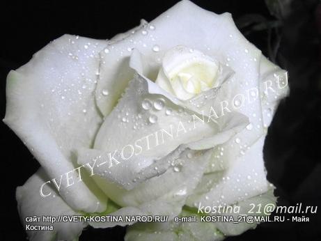 белая срезочная роза сорт Bianca- купить саженцы роз в Минске